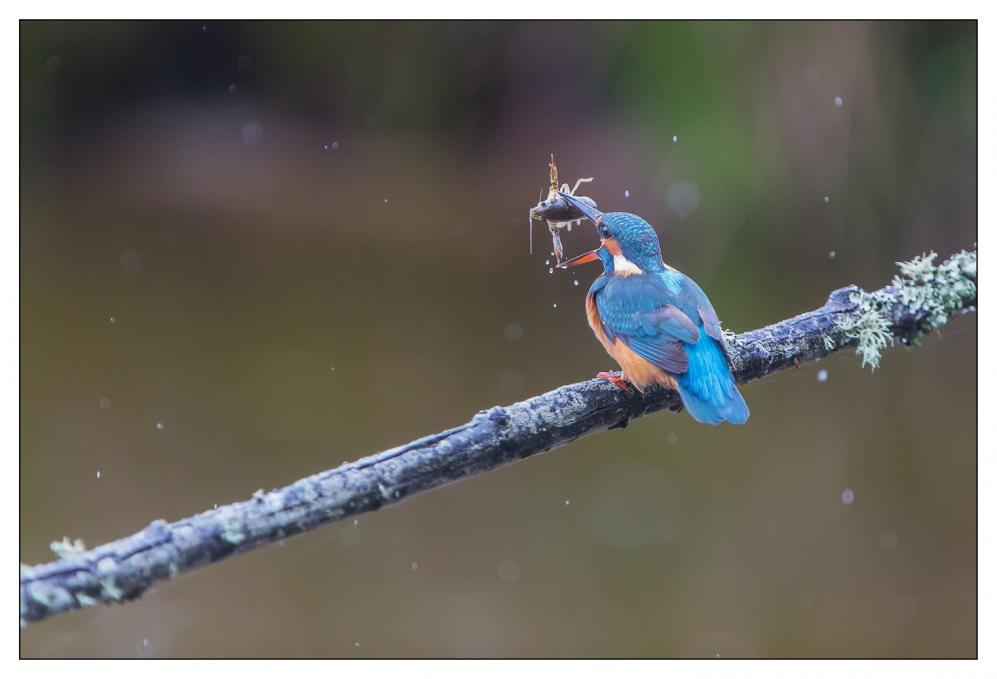 Martin-pêcheur - Parc du Teich (Gironde)